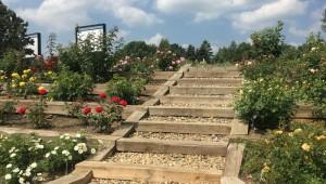 Konec června bude patřit růžím. Botanická zahrada otevře Rozárium
