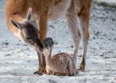 Novorozené mládě lamy guanako s matkou ve výběhu.  Petr Hamerník / Zoo Praha