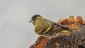 Ptačí hodinka překonala rekord, lidé pozorovali přes půl milionu ptáků