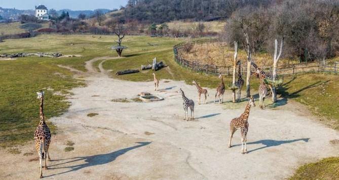 Zoo slaví: žirafy chová již šedesát let