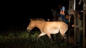 Návrat divokých koní: Další čtyři klisny doletěly do Mongolska