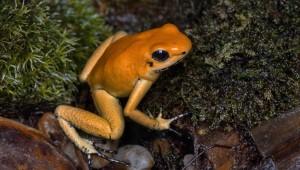 Nejjedovatější, nejmenší a neuvěřitelně barevné jsou šípové žáby. Uvidíte je v Gočárových domech