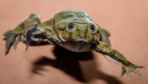 Vodnice posvátné, vzácné žáby z jezera Titicaca, se stěhují do Prahy