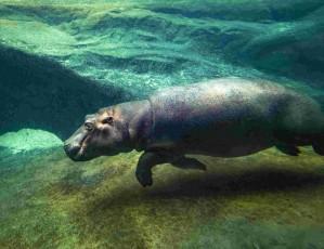 Slavnost Zoo Praha: Znovuotevření pavilonu hrochů a vítání Tchéca