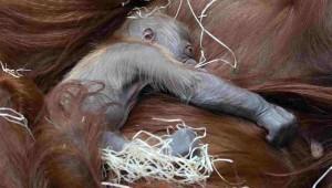 V Zoo Praha se dnes narodilo mládě orangutana