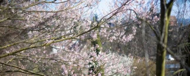 Chladné jaro ohrožuje choulostivé dřeviny, jak poškození zabránit radí kurátor