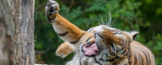Tygři budou oslavovat, blíží se jejich Mezinárodní den