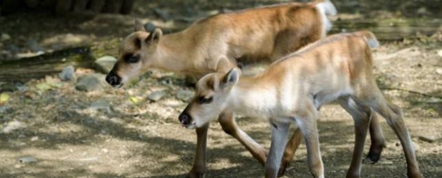 Zoo Praha odchovává další mláďata vzácných sobů