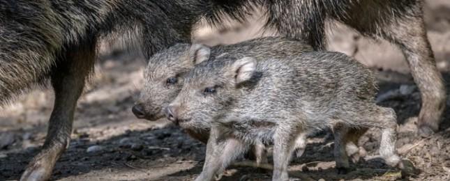 V Zoo Praha se narodilo prehistorické zvíře