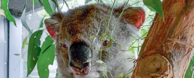 Milion australských dolarů na pomoc zvířatům postižených požárem