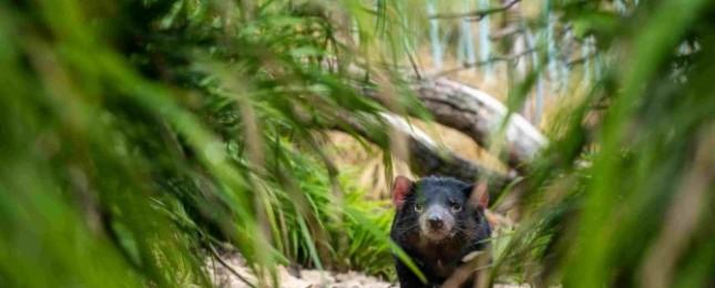 Mládě ježury australské už má první bodliny, je mu 100 dní