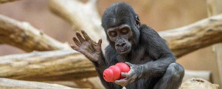 Pražská zoo chystá na víkend speciální oslavu gorilích narozenin - Pražský  patriot efe0c2cdea0