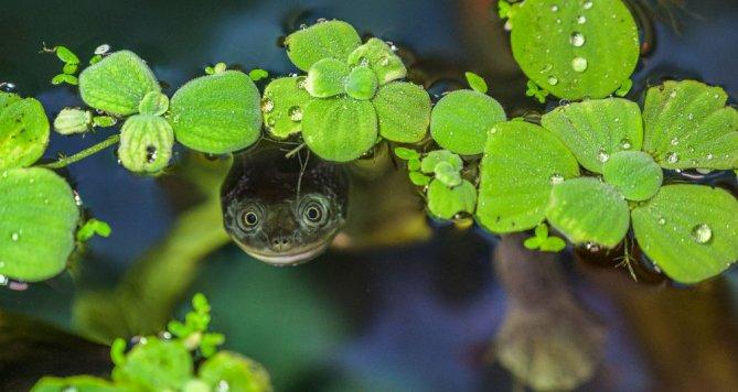 Kriticky ohrožné dlouhokrčky rotiské najdete v zoo