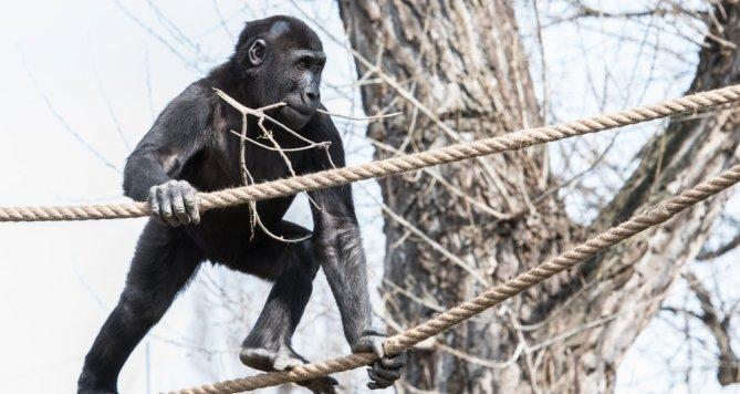 Gorily chodí do nově upraveného venkovního výběhu