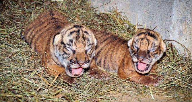 Mláďata tygra malajského v Zoo Praha. Jsou to sameček a samička