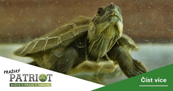 Nejvýznamnější letošní odchovy v pražské zoo? Želva, dikobraz, ještěr nebo třeba holub